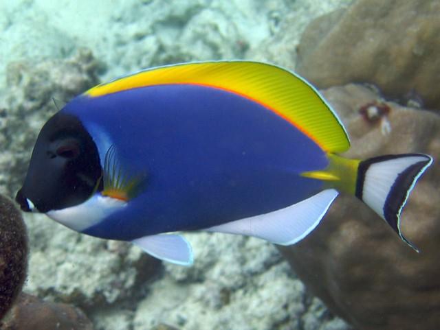 Powder blue tang flickr photo sharing for Tang saltwater fish