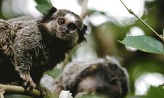 animal, mammal, fauna, marmoset, wildlife,