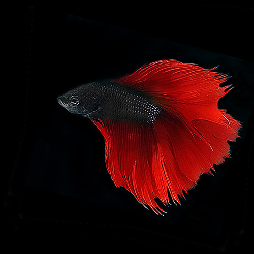 Fish gallery a gallery on flickr for Red betta fish