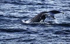 animal, marine mammal, sea, ocean, marine biology, wave, whales, dolphins, and porpoises,