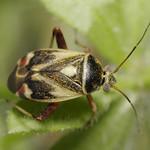 galaj mezeipoloska - Polymerus unifasciatus
