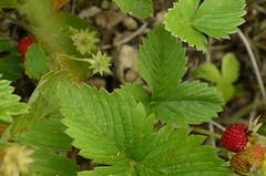 berry, leaf, mock strawberry, plant, wine raspberry, fruit, urtica,
