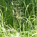 Small photo of Agrostis stolonifera