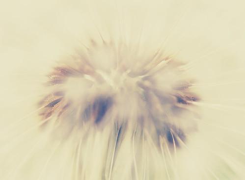 Dandelion's heart