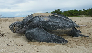Leatherback sea turtle/ Tinglar, USVI