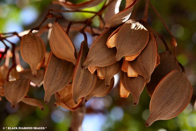 Stenocarpus sinuatus - Firewheel Tree,Wheel of Fire Tree