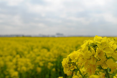 20090228 Rape Blossoms 2
