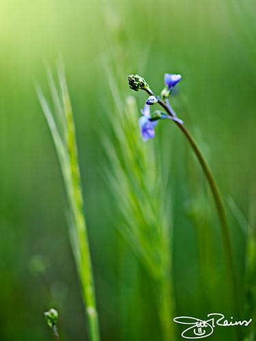 sun flower green spring weed dof purple bokeh olympus explore e30 naturesfinest zd 50mmmacro20 odetospringlight madeitto13