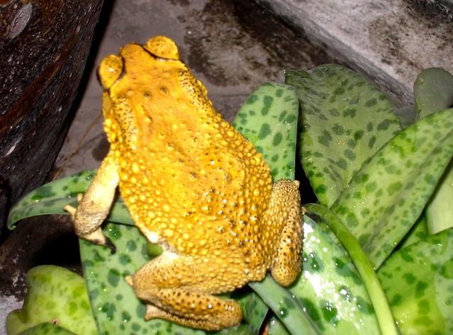 Golden Toad (1989)