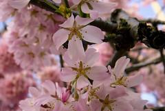 Sakura season is here ♥
