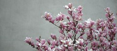 Magnolificient flowers