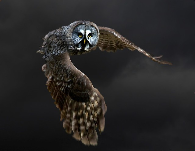Great grey owl in flight from Hogwarts (strix nebulosa)