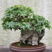 Small photo of Trident Maple (Acer buergerianum)