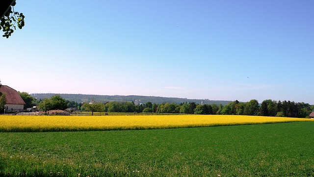 Rap Seed Field in Feldbrunnen