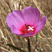 ruby chalice clarkia - Photo (c) randomtruth, some rights reserved (CC BY-NC-SA)