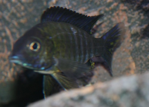 Cichlid forum is this ick for What is ick in fish