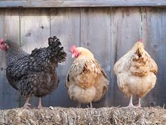Chicken Butts