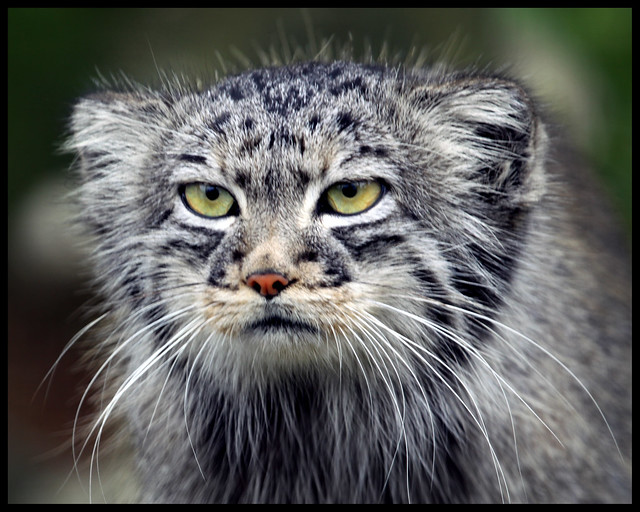 pallas cat flickr   photo sharing