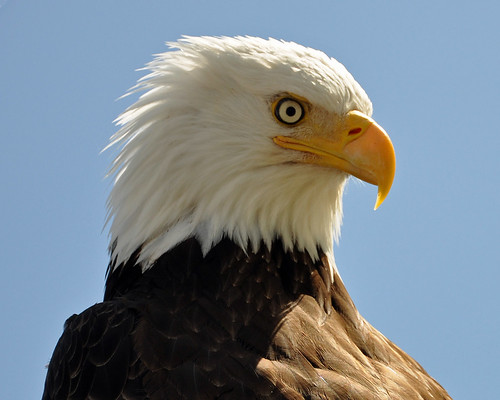 intense eyes eagle baldeagle feathers picaday hook carion avianexcellence picadayproductions