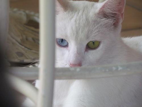 Gatto con occhi diversi flickr photo sharing for Gatti con occhi diversi