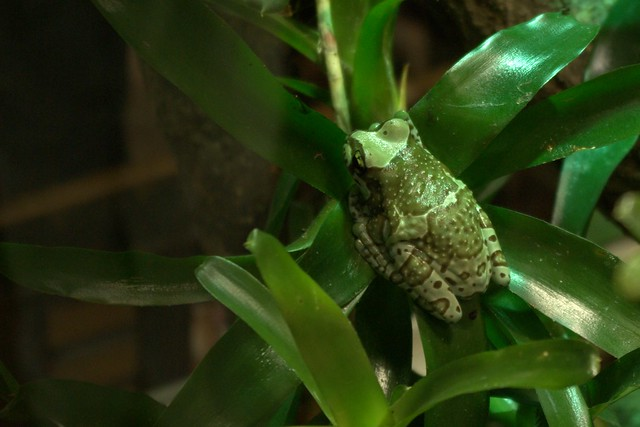 Green Poisonous Dart Tree Frog | A Green Poisonous Dart ... Green Tree Frogs Poisonous