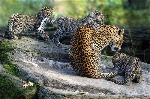 Tail Game (Sri Lanka Leopards)