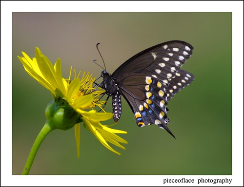 Black Swallowtail on Rosinweed...