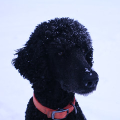 poodle(0.0), portuguese water dog(0.0), barbet(0.0), miniature poodle(1.0), standard poodle(1.0), animal(1.0), dog(1.0), curly coated retriever(1.0), pet(1.0), mammal(1.0), irish water spaniel(1.0), black(1.0),