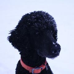 miniature poodle, standard poodle, animal, dog, curly coated retriever, pet, mammal, irish water spaniel, black,