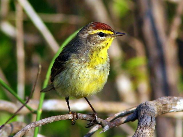 Palm Warbler Bright 20090402