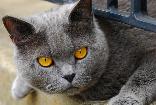 Neighbour's grey cat