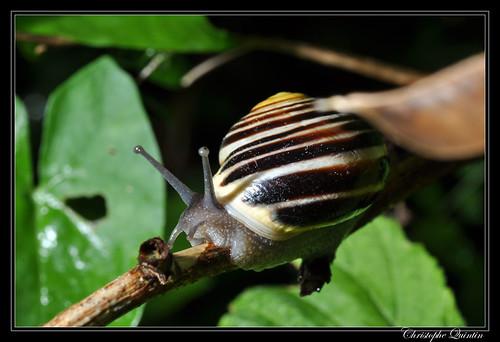 Escargot des jardins (Cepaea hortensis)