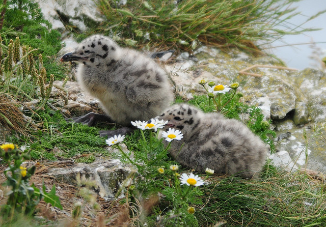Herring Gull Chicks (Larus argentatus) at Bempton Cliffs