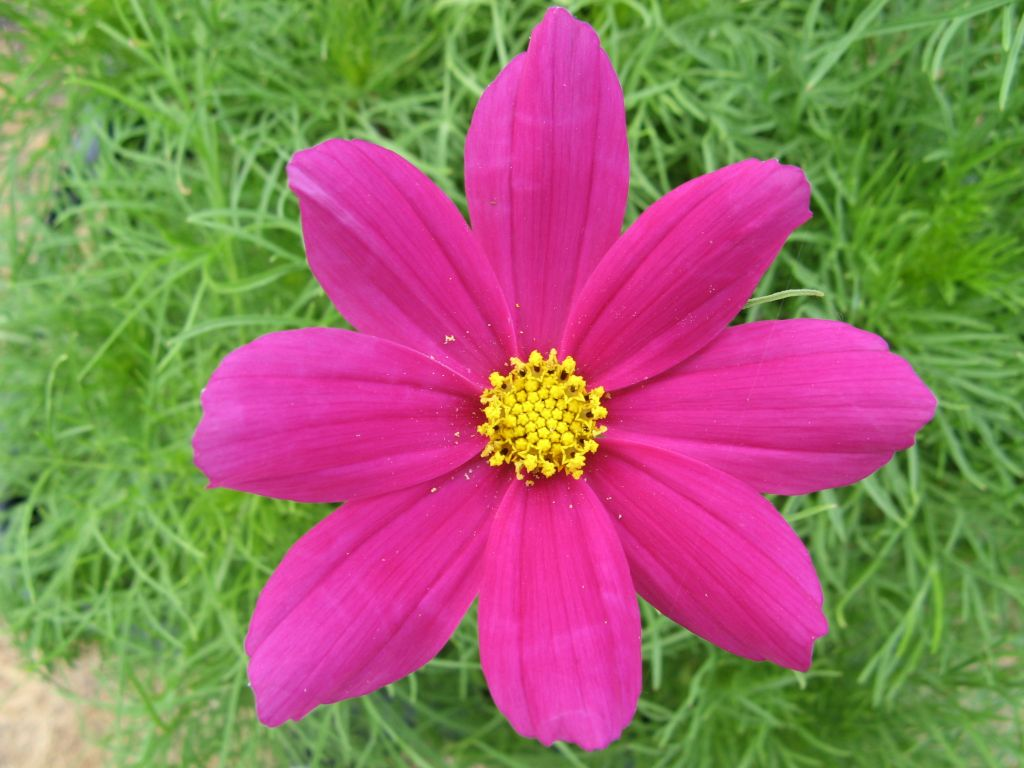 Summer annuals guide top 10 in southern california install it direct these daisy like flowers come in pink white and red and sit on top of tall stalks reaching up to 6 tall staking may be required for those on the taller izmirmasajfo Choice Image