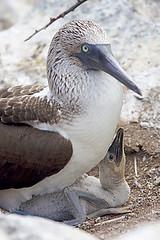 animal, fauna, close-up, booby, beak, bird, seabird, wildlife,