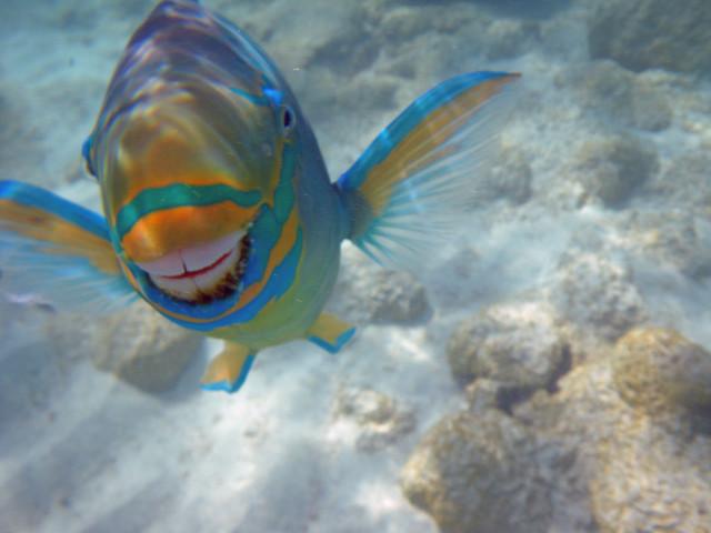 Parrot fish  fish  Britannicacom