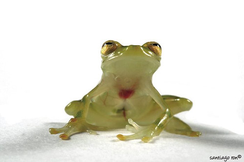 Yellow dotted glass frog