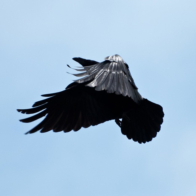 Mission Peak Crow