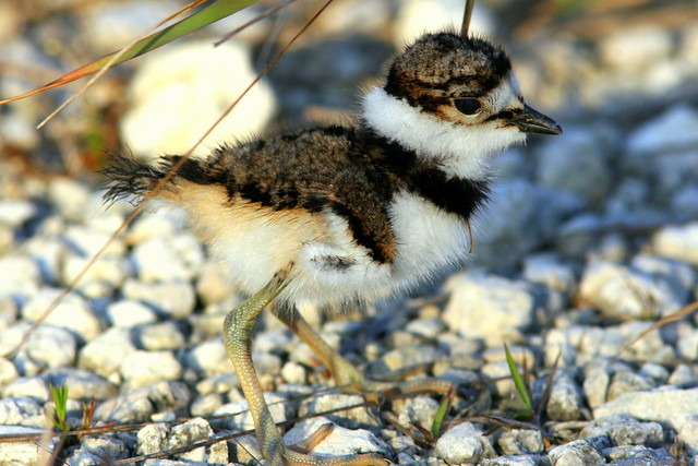 Killdeer Chick20090416