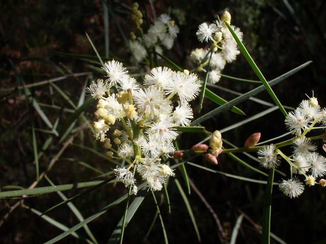 Sweet-scented wattle