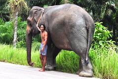 zoo(0.0), safari(0.0), animal(1.0), indian elephant(1.0), elephant(1.0), elephants and mammoths(1.0), african elephant(1.0), fauna(1.0), mahout(1.0), wildlife(1.0),