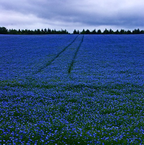 Blue mood in the fields.
