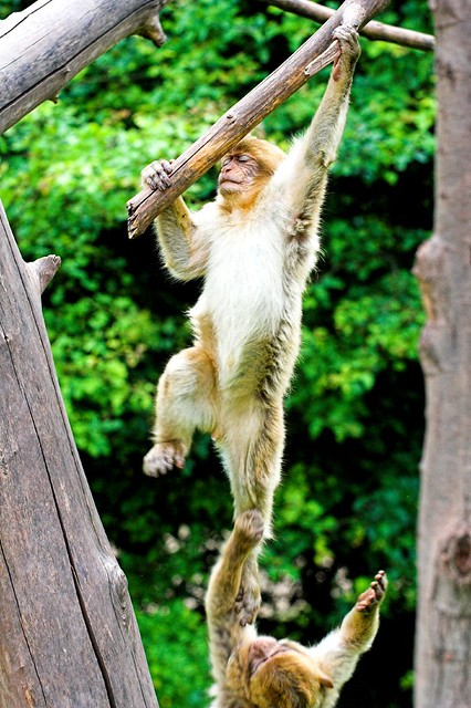 zoo erfurt two young barbary macaque having a little. Black Bedroom Furniture Sets. Home Design Ideas