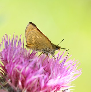 Large Skipper (Ochlodes sylvanus) near the River Cam
