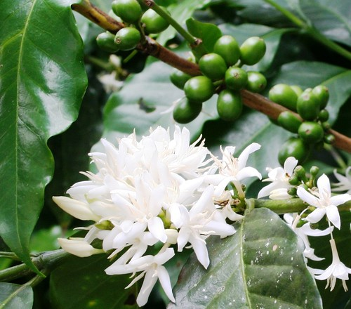 Coffee plant - Photo by Reserva El Jaguar
