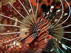 flower(0.0), fish(1.0), marine biology(1.0), macro photography(1.0), lionfish(1.0), scorpionfish(1.0),