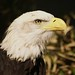 Bald Eagle by simplegiftsphoto