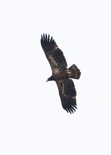 ohio eagle baldeagle browncounty haliaeetusleucocephalus immaturebaldeagle higginsport