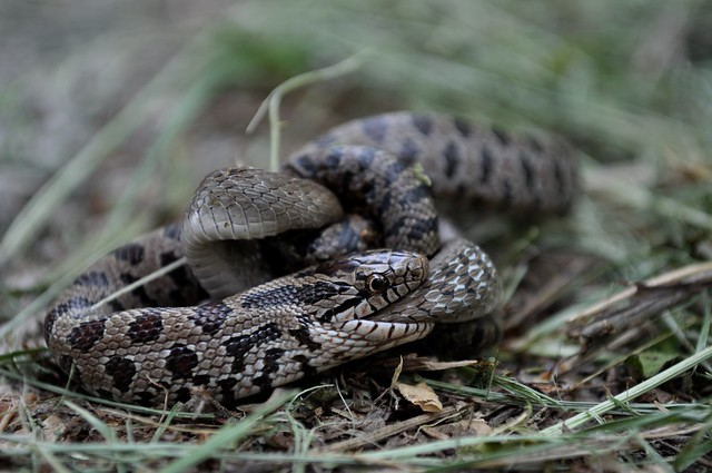 Snake Eating A Snake Taken At Watershed Nature Reserve