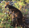 Swamp Wallaby by wollombi